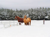 Beautiful horses in the snow — Stock Photo