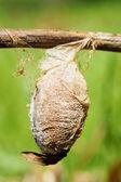 Cecropia moth cocoon — Stock Photo