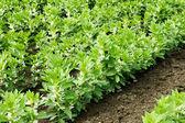 Växande breda eller bondbönor — Stockfoto