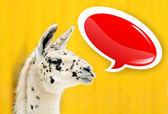 Funny face white alpaca with speech bubble — Stock Photo