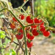 Cherry tomatoes growing in garden - Foto Stock