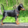 Постер, плакат: Miniature Pinscher Puppy