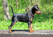 Miniature Pinscher Puppy — Stock Photo