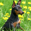 miniature pinscher — Stock Photo #8454939