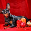 Miniature Pinscher - Stock Photo