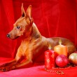Red Miniature Pinscher - Stock Photo