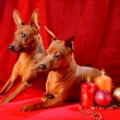 ������, ������: Two Red Miniature Pinschers
