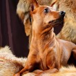 Stock Photo: Red Miniature Pinscher