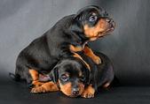 Dwa miniatura pinscher szczeniak — Zdjęcie stockowe