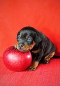 Miniature Pinscher Puppy — Stock Photo