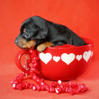 Miniature Pinscher Puppy — Stock Photo #9006945
