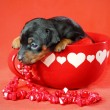 Miniature Pinscher Puppy - Stock Photo