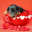 Miniature Pinscher Puppy — Stock Photo #9006949