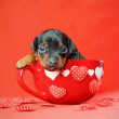 Miniature Pinscher Puppy — Stock Photo #9006965