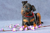 Miniature Pinscher Puppy — Zdjęcie stockowe