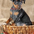 Miniature Pinscher Puppy — ストック写真