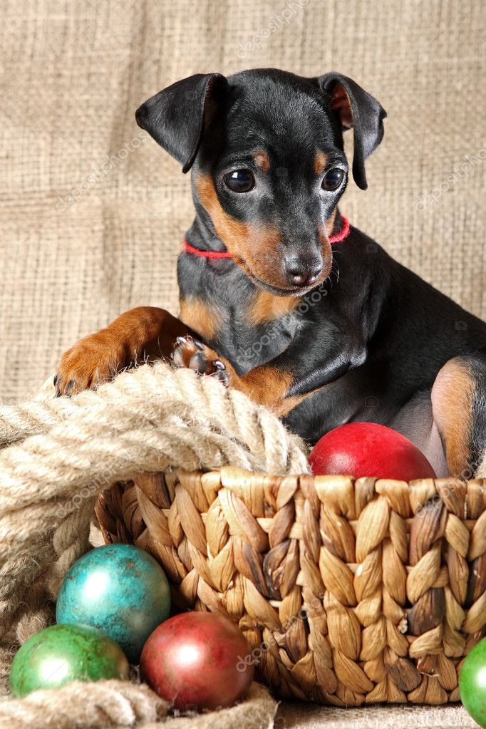 The Miniature Pinscher puppy, 2.5 months old — Stock Photo #9998836