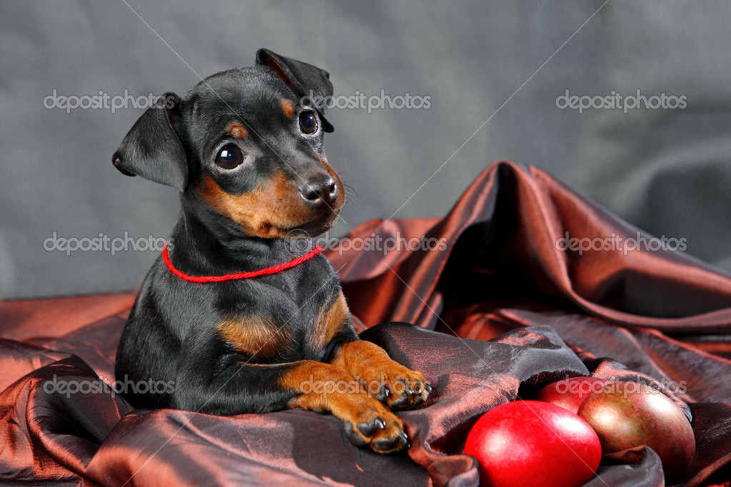 The Miniature Pinscher puppy, 2.5 months old  Stock Photo #9998886