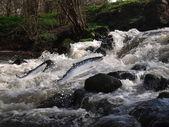 Sauter par-dessus du saumon de l'eau — Photo