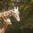 Stock Photo: Mother and Child Giraffe