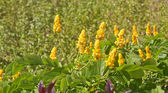 Yellow Wildflowers in Tropical Garden — Stock Photo