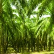 Palm Oil Plantation — Stock Photo #10087470