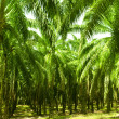 Palm Oil Plantation — Stock Photo
