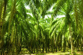 Palm Oil Plantation — Stok fotoğraf