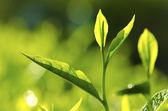 çay yaprağı — Stok fotoğraf