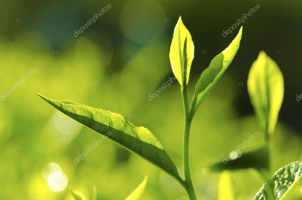 Tea Leaf with morning golden sunlight — Stock Photo #10297517