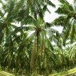Palm Oil Plantation in Fish eye view — Stock Photo