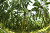 Palm Oil Plantation in Fish eye view — Stok fotoğraf