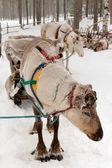 Reindeers — Stock Photo