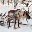 Reindeer and sleigh — Stock Photo