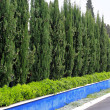 Hedge trees — Stock Photo