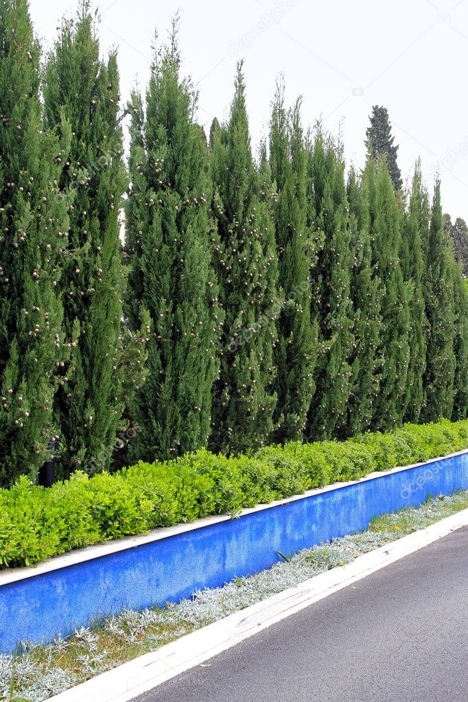 Conifer green trees at natural hedge wall  Stock Photo #10470212