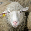 Sheep head — Stock Photo #8003397