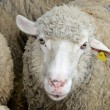 Sheep at farm — Stock Photo #8523344