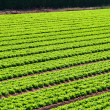 Stock Photo: Salad field rows