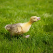 Little gosling — Stock Photo #10470871