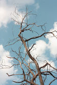 Withered tree — Stock Photo