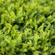 Buxus Sempervireus — Stock Photo