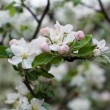 Apple Blossoms — Stock Photo #10376604