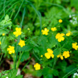 Stock Photo: Buttercups