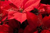 Bayram yılbaşı çiçeği — Stok fotoğraf