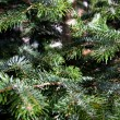 Caucasian Fir Branches — Stock Photo