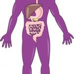 Постер, плакат: Male human anatomy standing