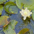 Waterlily — Stock Photo #10167363