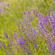 Lavender — Stock Photo #10167450