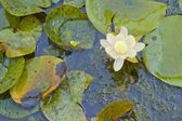 Waterlily — Stock Photo